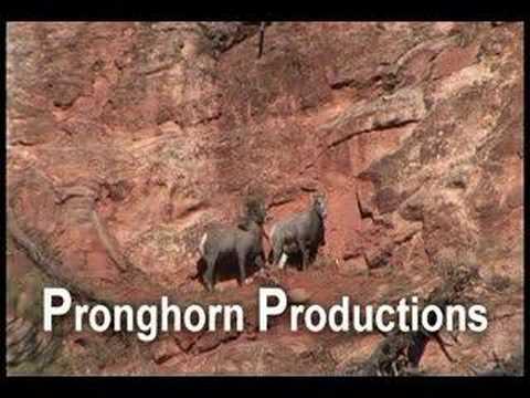 Ram and Ewe Bighorn Sheep Mating