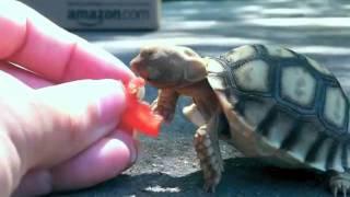Schildkröte gegen Tomate
