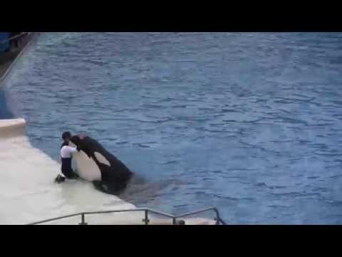 Die unglaubliche Schwertwal Show von SEAWORLD (als Trainer noch ins Wasser durften) ◄◄◄