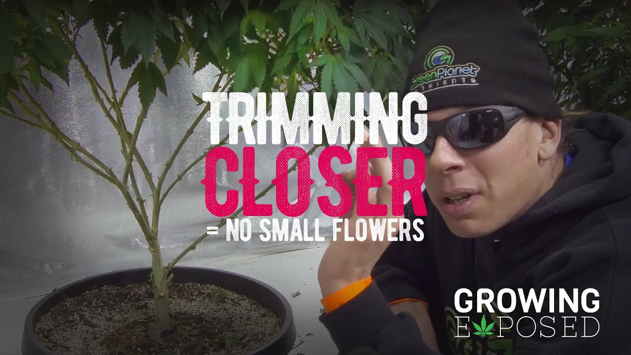 Trimming Closer: DON'T GROW SMALL FLOWERS - Growing Tips 03