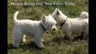 Westie Terrier Dog Of The Day Bertie Meets Benji