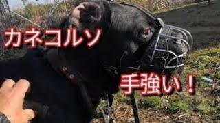 カネコルソくん凄く繊細 Dog Rescue A&R