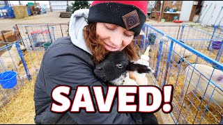 HOW TO SAVE A FROZEN LAMB!  VLOGMAS 2020: Vlog 389