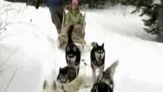 Newfoundland Dog Sledding