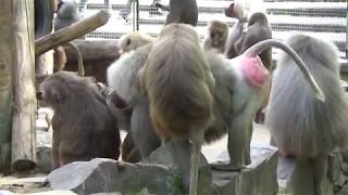 Очень пошлые обезьяны. Посмотрите, что они творят прямо на ходу
