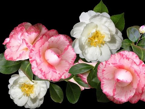 Amazing And Most Beautiful Camellia Flowers | Leaves For Tea | Seeds For Oil