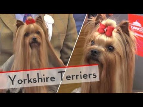Yorkshire Terriers - Bests of Breed