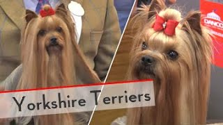 Yorkshire Terriers  Bests of Breed