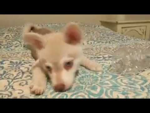 Alaskan Klee Kai Playing with Water Bottle - Available Puppies from Nordic Mini Huskys