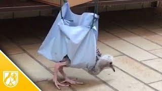 Jungvogel Frederik kann endlich laufen