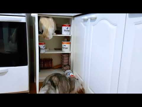 """American curl Ragnar """"helps"""" to load the food cabinet"""