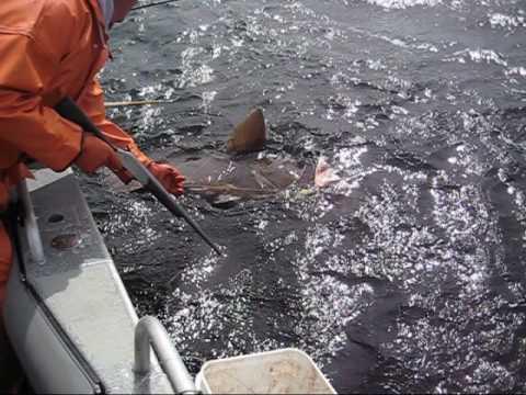 430# Monster Halibut Sitka Alaska At Angling Unlimited