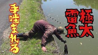 モンスター雷魚に手を噛みつかれて昇天。巨大雷魚大繁殖地帯2日目後編 巨大雷魚3連発 snake head fishing in Japan