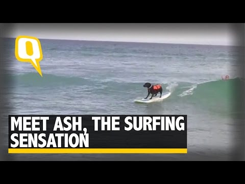 The Quint: Ash, Australia's Surfing Sensation Dog, Will Steal Your Heart