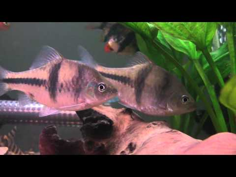 T-Barb/Spanner Barb - Tropical Fish Profile