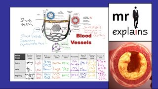 mr i explains: Comparing Blood Vessels - Arteries, Veins and Capillaries