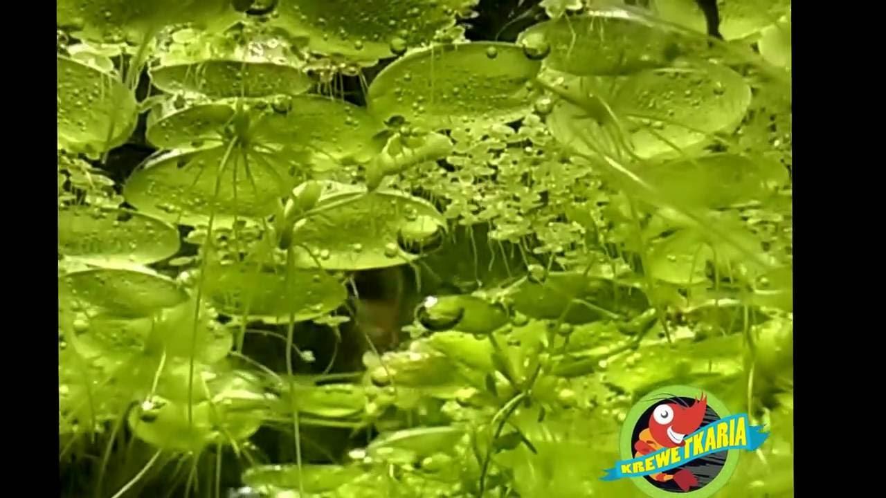 Ogromnie Limnobium - roślina pływająca do akwarium - YouTube XB35