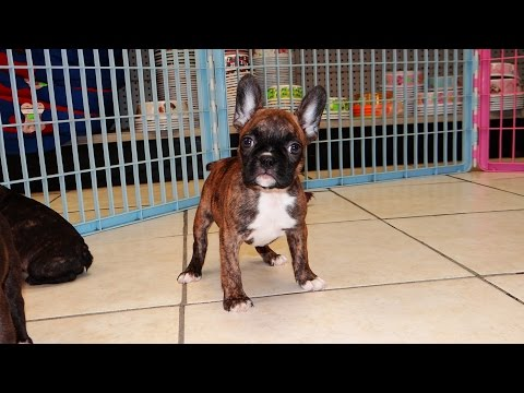 Frenchton, Puppies, Dogs, For Sale, In Atlanta, Georgia, GA, Savannah, Sandy Springs, Roswell