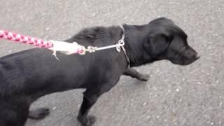 ラブラドール黒7ヶ月と散歩している風景です。時折、飼主の顔をチラチラ...