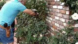 How to Prune a Hybrid Tea Rose Bush in the Winter