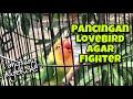 Lovebird Ngetik Ngekek Fighter Bagus Untuk Memancing Lovebird Macet Jadi Bunyi Ngekek Panjang  Mp3 - Mp4 Download