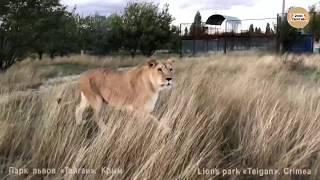 Поездка в сопровождении львов. Тайган. Крым. A trip accompanied by lions. Taigan Crimea.