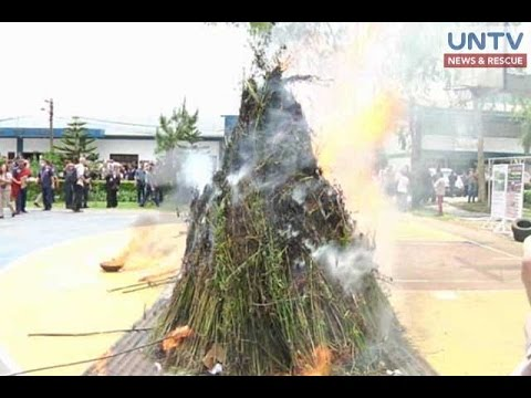 P500,000 halaga ng nakumpiskang marijuana sa Benguet, sinunog