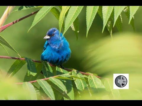 Oiseaux du Québec: Passerin indigo, Cardinal rouge et Cardinal à poitrine rose