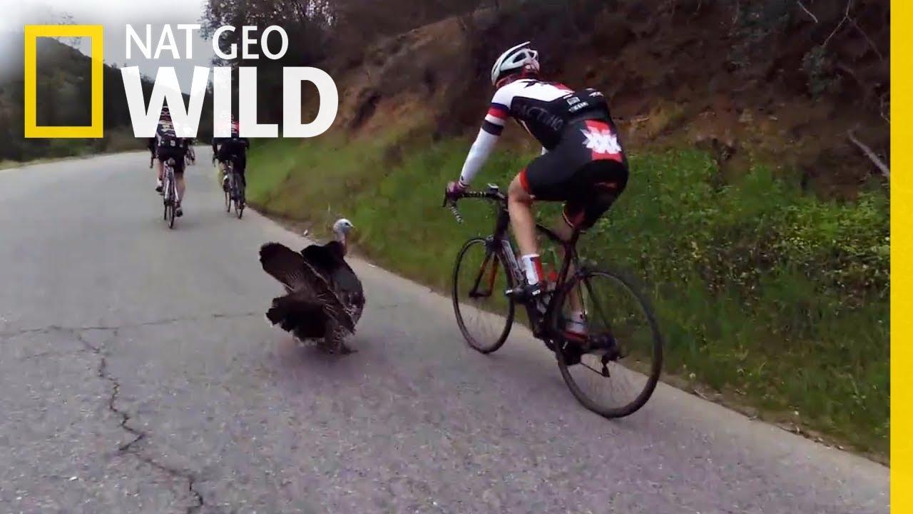 When Turkeys Strike Back | Nat Geo Wild