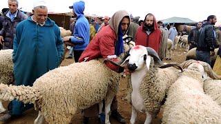 الجزء التاني من سوق الفقيه بن صالح أجي تشوف ضخامة العجول و ثمن الصردي و شكايات ناس من قلب السوق