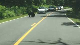 Repeat youtube video Momma and baby bear crossing the road