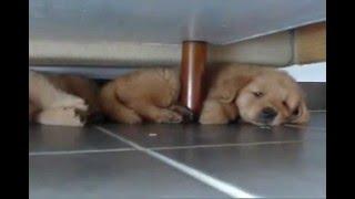 Mac And Tux - Golden Retrievers Puppies