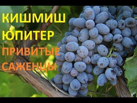 Виноград  Юпитер Кишмиш (grapes kishmish Jupiter (USA)
