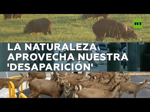 RT en Español: Animales salvajes ocupan ciudades en cuarentena