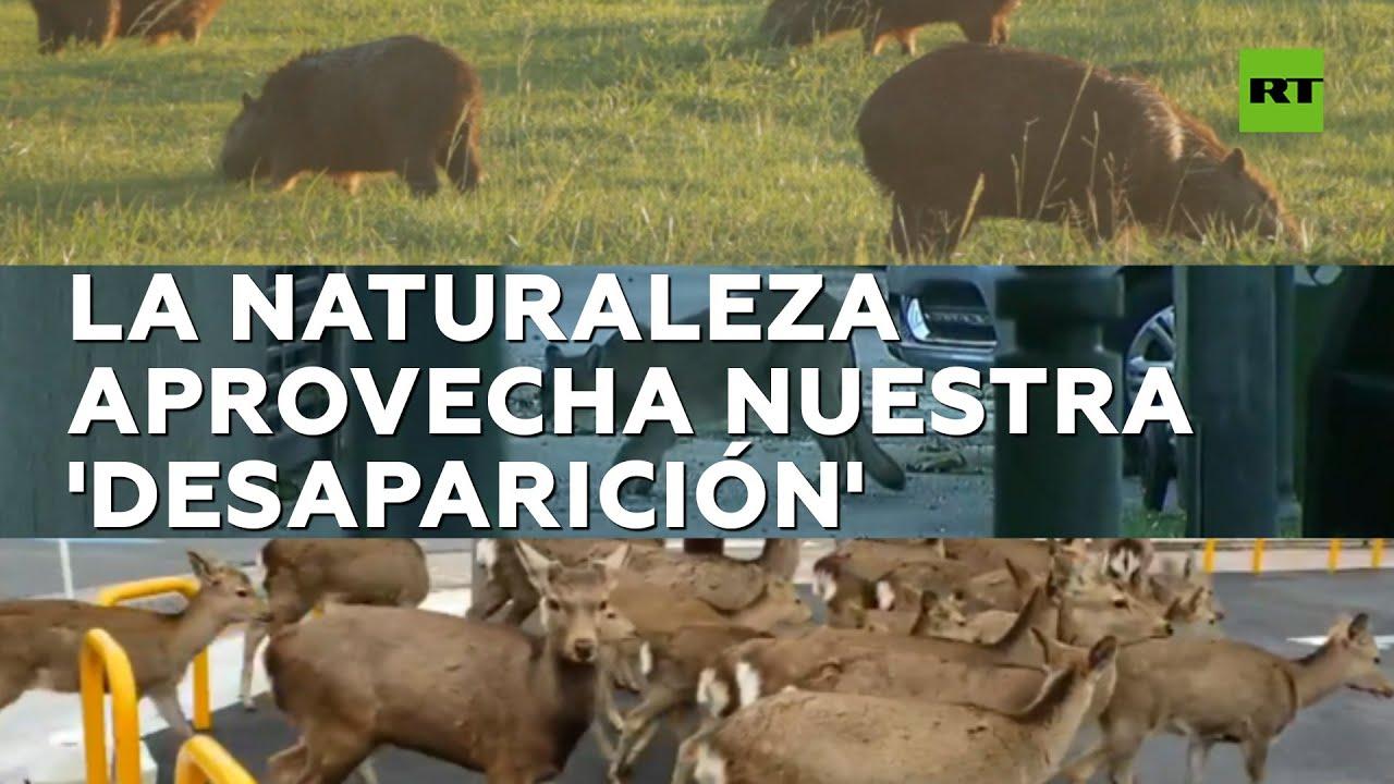 Animales salvajes ocupan ciudades en cuarentena