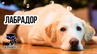 Лабрадор-ретривер / Интересные факты о собаках