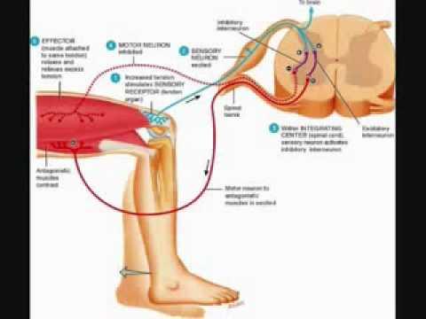 Inverse myotatic (Golgi) reflex - YouTube