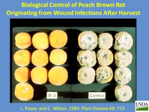 Biological Control of Postharvest Diseases