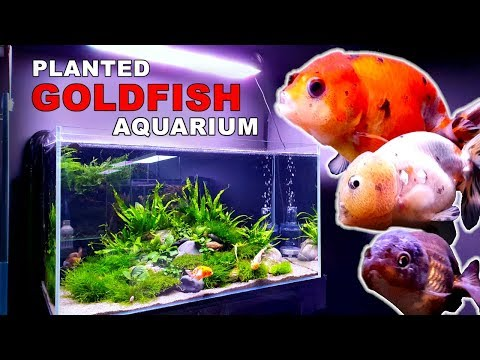 HOW TO: PLANTED GOLDFISH AQUARIUM: The Ranchu Crew Rebuild || MD FISH TANKS