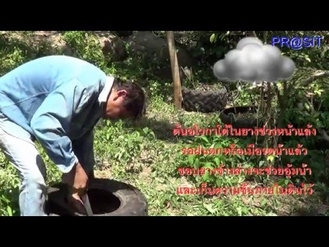 ปลูกต้นพริกไทยในยาง