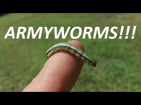 Image result for armyworms