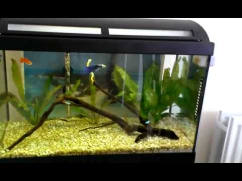 New Siamese Fighting Fish In A Community Tank Youtube