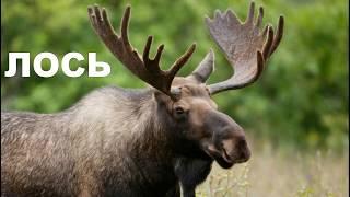 Обучающее видео для детей Животные леса и их звуки