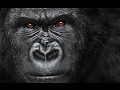 Gorilla as a Totem: Personality Characteristics and Life-Path Challenges