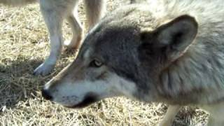 Wolf dogs taking treats ( High content wolfdog wolf dog hybrid )