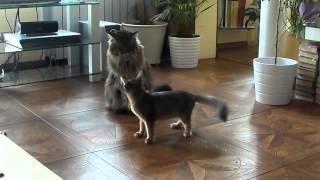 Котята Сомали и Мейн-кун