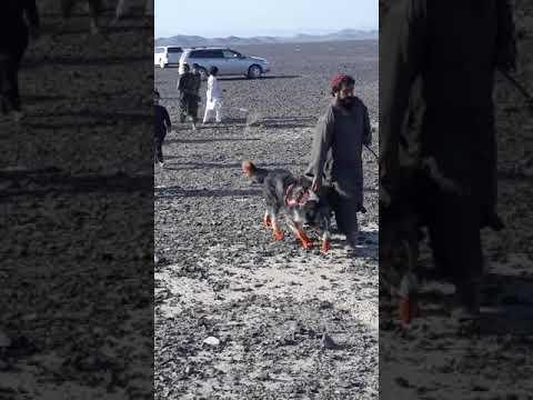 Best Kuchi Breed Dog Chaghi