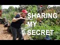 Staking Tomatoes My EASY Method CHANGED My LIFE~Fast & Cheap Garden Technique