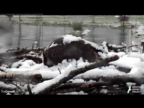Iris Shakes Off The Snow While Incubating In Hellgate – May 17, 2017