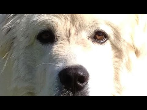 GREAT PYRENEES : dog food ? Wireless fence thoughts